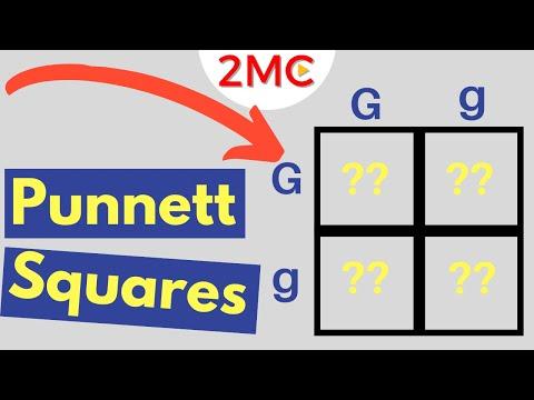 Punnett Square Basics   Mendelian Genetic Crosses