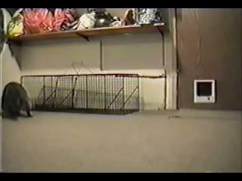 Raccoon in my basement