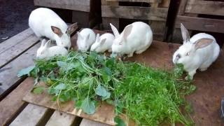 Bunnies Eating Carrots (and Broccoli) - Meat Rabbit Colony (S.1-E.31)
