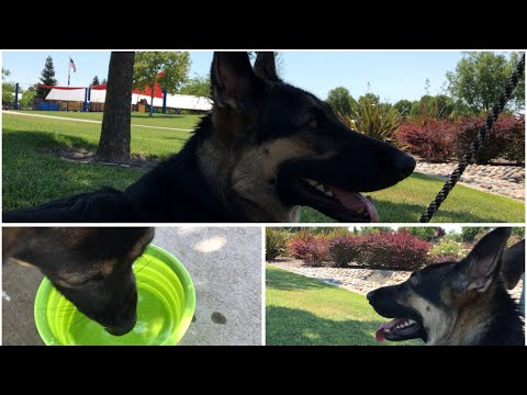 HOT Weather Safety Tips for Dogs - 10 Sec Rule German Shepherd Please read description