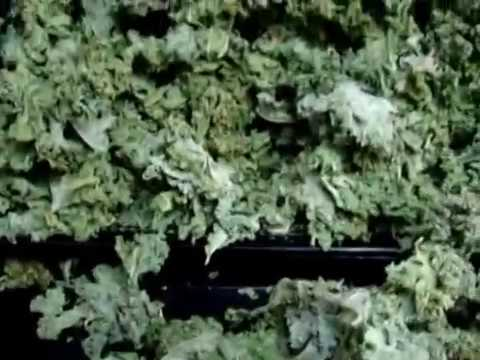 93 Dehydrated 14 bunches organic kale in Excalibur Dehydrator stacked high on 1 tray crunchy