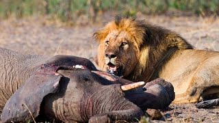 """► """"TRAINED TO KILL"""" - (Lions Documentary) (LIONS vs ELEPHANT - GIRAFFE AND MORE! -  WILD 