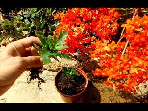 How to Grow Kalanchoe plant from cutting