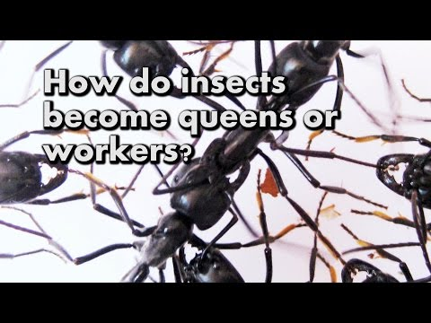 How do insects become queens or workers?