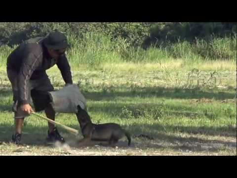 12 Weeks Old German Shepherd Sable Puppy Biting The Sleeve In Face, and Flee Attack(MUNDIOL)