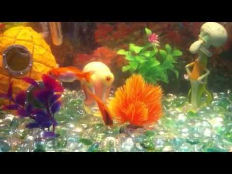 Goldfish laying eggs and fertilizing of them!
