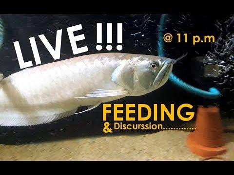 Silver Arowana's LIVE Feeding & Discussion