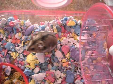 how to tell if your hamster is pregnant!