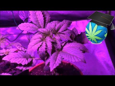 Transplant Trauma In Cannabis Plants - Sagging - General Advice