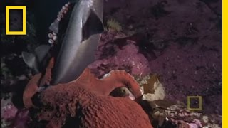 Octopus Kills Shark | National Geographic