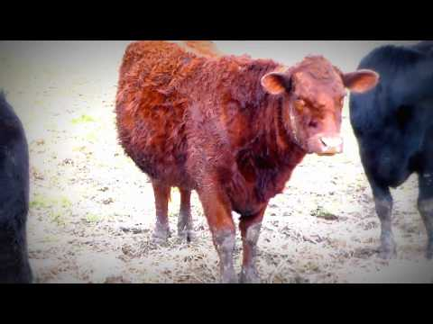 Lice on Cattle