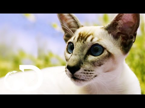 Siamese Cats: The Oldest Domestic Feline | Cats 101