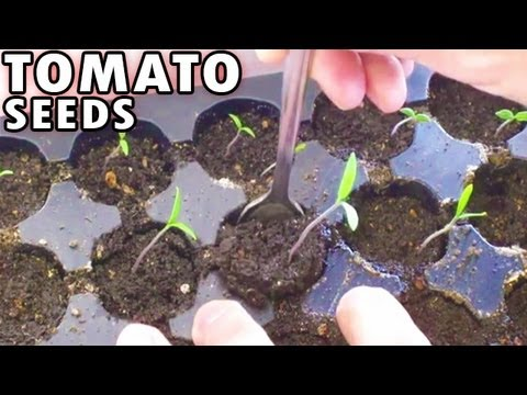Germinating Tomatoes from seed Sprouting Planting Tomato seeds Peppers under lights