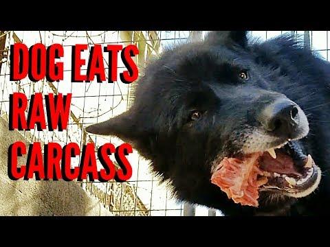 Dog Eats RAW Carcass !!! (K9 Mukbang)