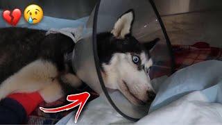 محاولة انقاذ كلبتي لوسي من الموت بسبب مرض قوي !! دعواتكم💔😢