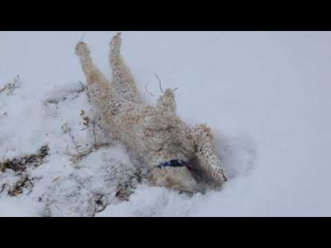 Canine Snow angels