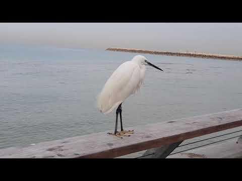 A heron with a bird's marking ring on the Tel Aviv beach