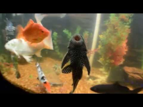 2/11/2015 Koi Fish Fry (babies)