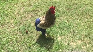 Chickens Wearing Pants - Funny Chicken Videos