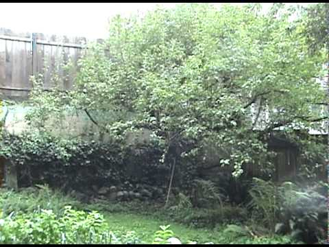 overgrown Evergreen Hedge Trimmed, bamboo pruned, Raspberry Bushes thinned out and tied.