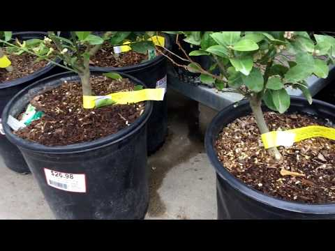 Lots of Dwarf Lime and Citrus Trees at HomeDepot for $26.98