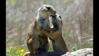 Robotic Animal Joins Kissing Prairie Dogs