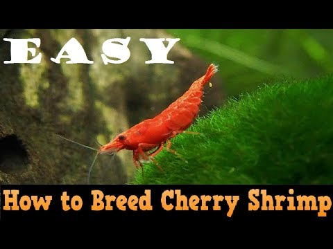 How to Breed Red Cherry Shrimp Easily