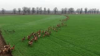 Délutáni szarvas vonulás sátorhelynél. Deers crossing a road in Hungary