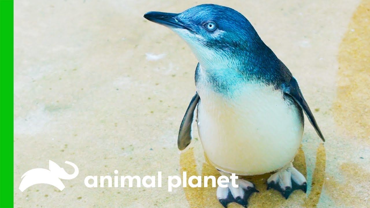 The Penguins From The Bronx Zoo Are Just Too Cute!   The Zoo