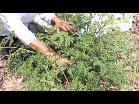 How to Prune Moringa for More Leaf Production Continued