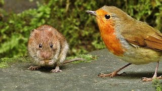 Videos for Cats to Watch Mice : Mouse vs Birds