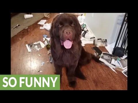 Huge Newfoundland puppy destroys house, feels no guilt