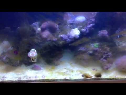 How to fix algae problems in a reef aquarium?