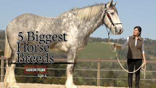 5 Biggest Horse Breeds | World