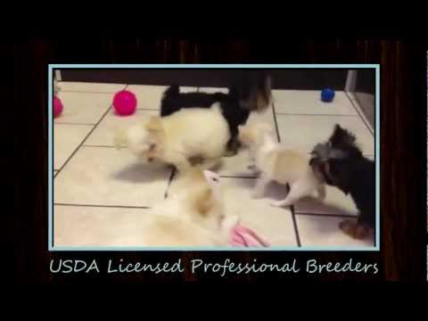 Cute Puppies for Sale in Florida At Waggs To Riches