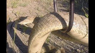 Large Lethbridge Rattlesnake