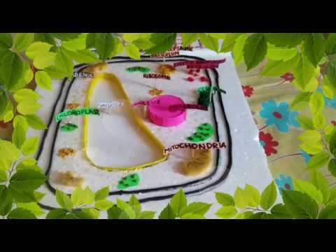 Plant cell model with functions.
