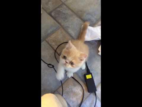 Big Sur - Grumpy Cat - Cute Exotic Short Hair Persian