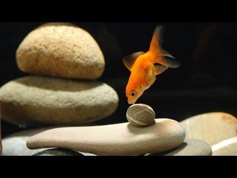 How to Set Up a Goldfish Tank | Aquarium Care