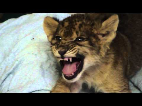 Lion Cub Gives Us His Best Roar