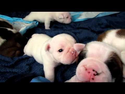 Bulldog puppies walking