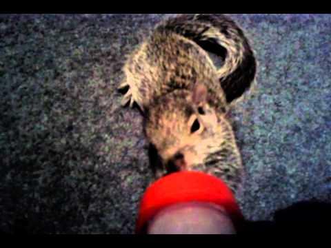 Cute baby squirrel drinking milk