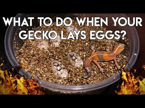 Your Gecko Laid Eggs....NOW WHAT??