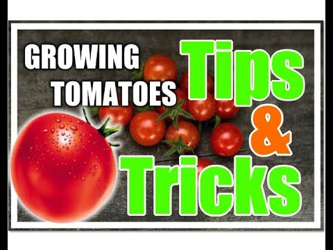 HOW TO GROW TOMATOES ANYWHERE!  (Growing Tips)