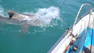 Tiger Shark eats another Shark in shallow water.