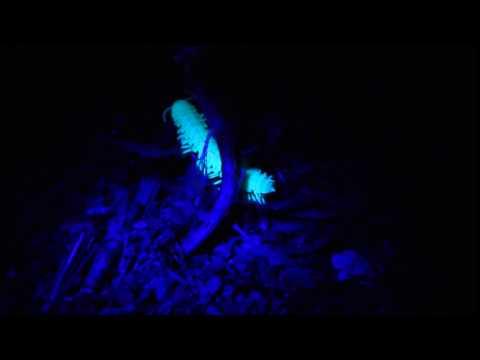 Centipede glowing under UV light