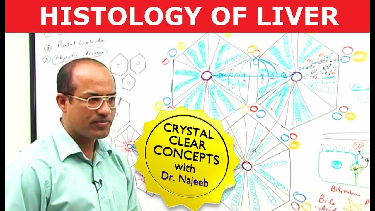 Liver Histology  - Hepatocytes & Portal Vein