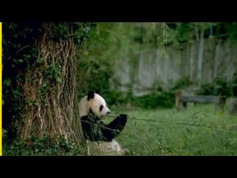 What does a Panda eat? | What do panda bears eat | giant pandas