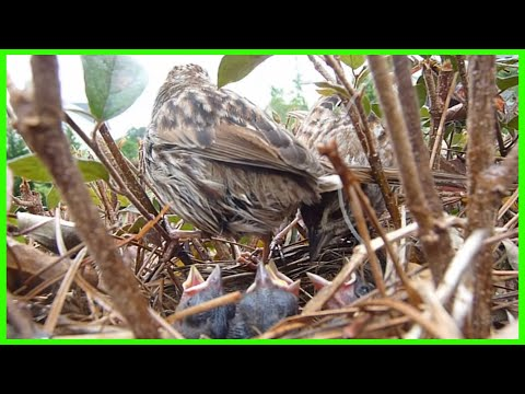 See What Happens to Baby Bird Poop! Birds in the Nest  4-16-12