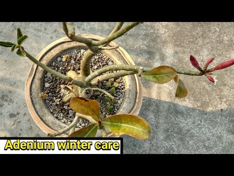 Why Adeniums leaves turnning yellow and falling off